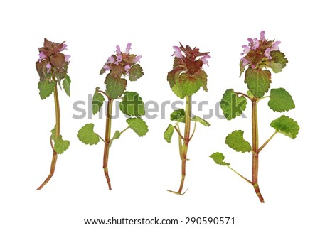 Pink Dead Nettle wild flower plant isolated on white background - stock photo