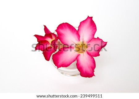 Pink desert rose blooming isolated  - stock photo