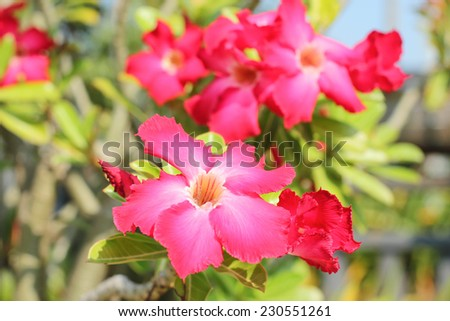 Pink Desert rose Tropical flower in blur background - stock photo