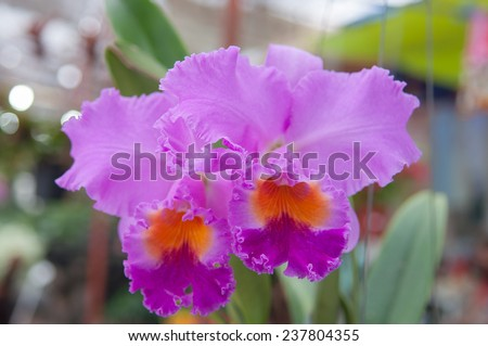 Pink Diamond cattleya orchid