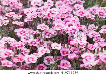 Pink dianthus flowers, carnations background - stock photo