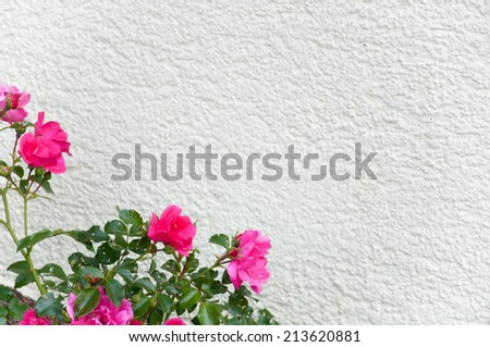 pink dog rose growing up a white house wall - stock photo