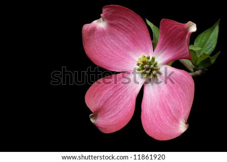 Pink dogwood blossom with black background. - stock photo