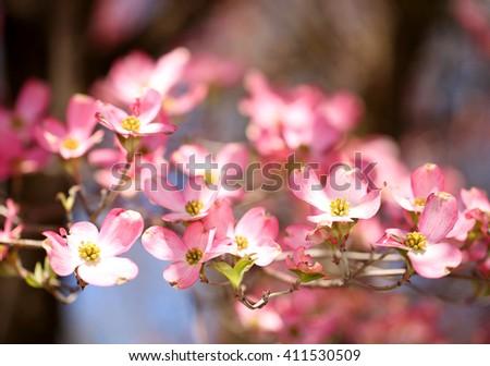 Pink Dogwood Blossoms. Beautiful Pink Flowers - stock photo