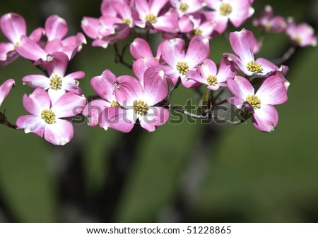 Pink Dogwood Blossoms on Green Background - stock photo