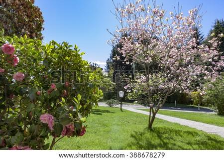 Pink dogwood, cornus florida, in spring garden - stock photo