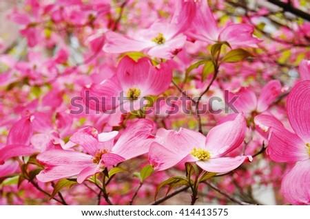 Pink dogwood (cornus) flower in the spring - stock photo