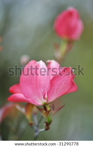 Pink dogwood flower - stock photo