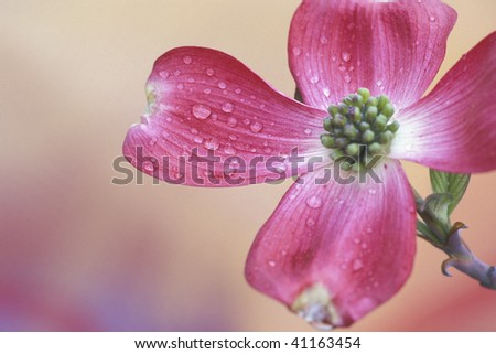 Pink dogwood flower in full bloom with water droplets - stock photo