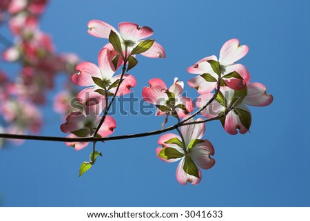 Pink dogwood flowers with blue sky - stock photo