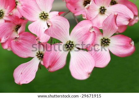 pink dogwood tree flowers - stock photo