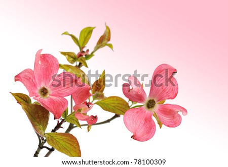 Pink Dogwood with Gradient pink background