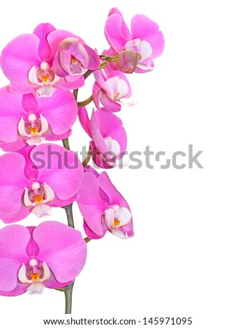 Pink, dotted orchid flower, isolated