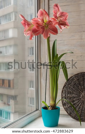 Pink double Hippeastrum   in  pot on the window