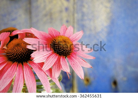 Pink echinacea flowers in glass jar on blue wood background color filter