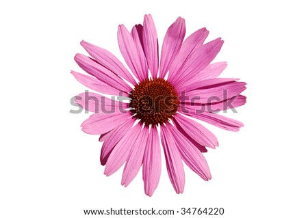Pink echinacea  head, isolated on white background.