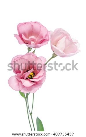 pink eustoma flowers  isolated on white - stock photo