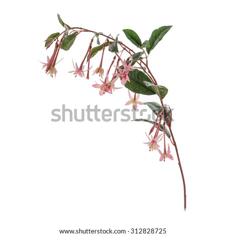Pink fake fuchsia flowers with leaves on white background - stock photo