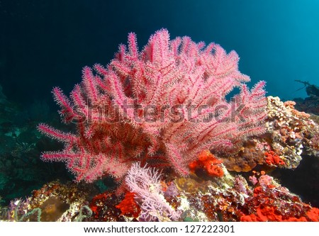 Pink fan coral and fish in cebu, Philippines - stock photo