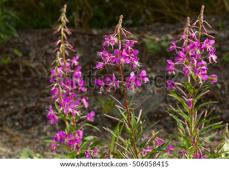 Pink fireweed flowers