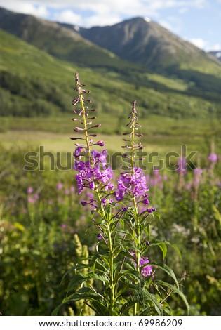 Pink Fireweed wildflowers, mountains and green meadows on Alaska's Kenai Peninsula - stock photo