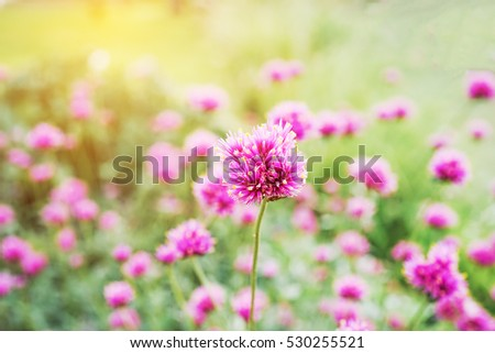 pink fireworks flower in garden, soft focus