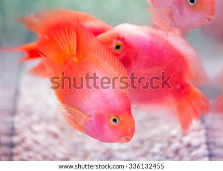 pink fishes in the aquarium close up - stock photo