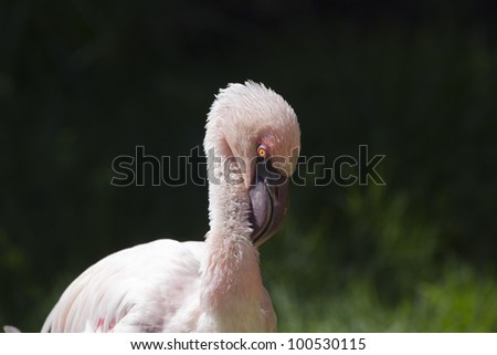 Pink Flamingo - stock photo