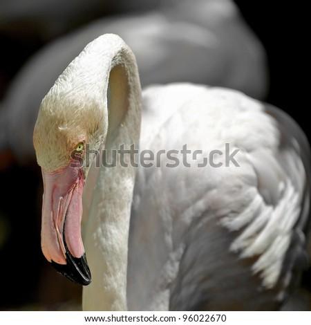 Pink Flamingo Close up - stock photo