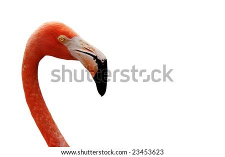 Pink Flamingo isolated on a white background. - stock photo