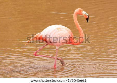 Pink Flamingo (Phoenicopterus ruber) walking in muddy natural pond (Galapagos, Ecuador) - stock photo