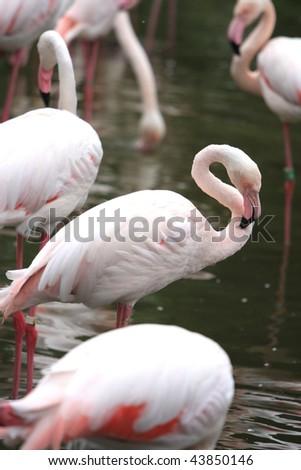 Pink Flamingo's - stock photo