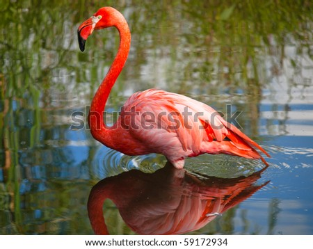Pink flamingo standing with water reflections - stock photo