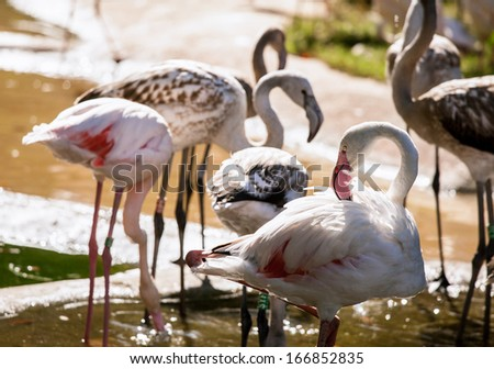 Pink flamingoes drinking water in Schonbrunn zoo - stock photo