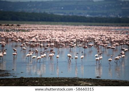 Pink Flamingoes - Lake Nukuru National Park in Kenya, Africa - stock photo