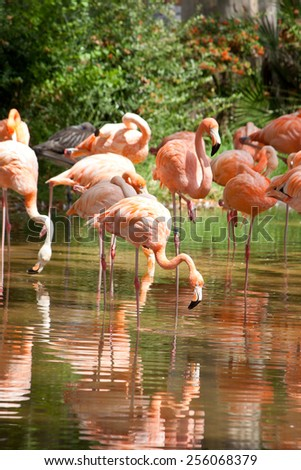 pink flamingos and reflection in the water.