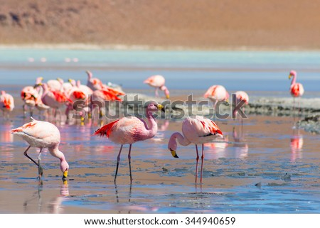 """Pink flamingos feeding in the salt water of """"Laguna Hedionda"""" (eng. Hedionda Lake), among the most scenic travel destination in the Andean Highlands of Bolivia. Selective focus. - stock photo"""