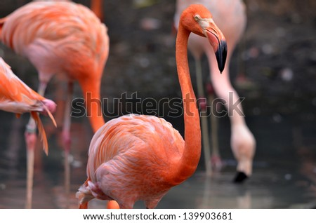 Pink flamingos in the lake - stock photo