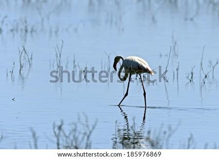 Pink Flamingos in the natural habitat . Kenya . Lake Nakuru . - stock photo