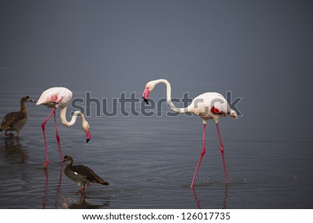Pink Flamingos on Drinking on Pond with Reflections Serengeti Tanzania Africa - stock photo