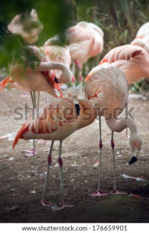 Pink Flamingos resting and standing under trees - stock photo