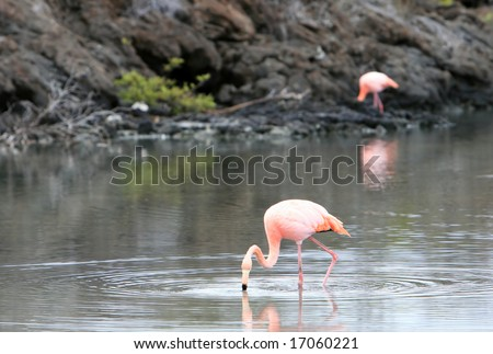 Pink flamingos wade in a small brackish pond on the galapagos islands - stock photo