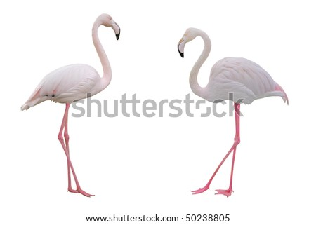 Pink flamingos with clipping path on white background. - stock photo