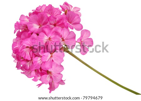Pink flover on white. Clipping path inside.