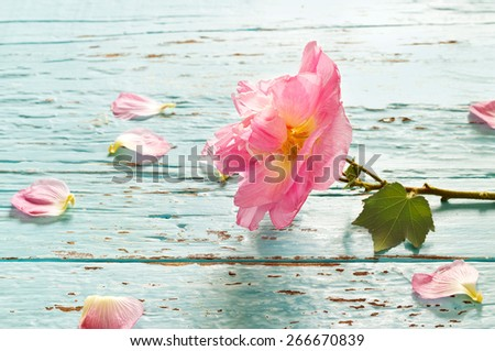 Pink flower and petals on blue wooden vintage color tone background, soft focus - stock photo
