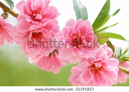 Pink Flower Blooming - stock photo