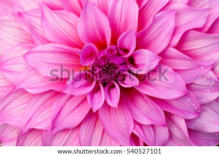 Pink flower close-up as texture background