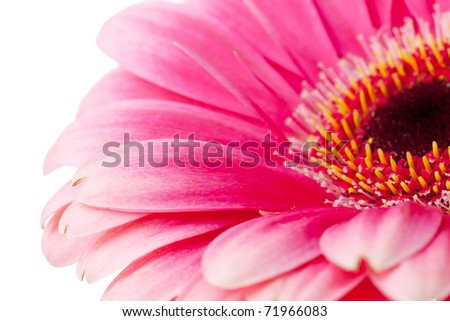 Pink flower closeup. Isolated on white - stock photo