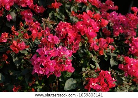 Pink flower evergreen shrub bougainvillea glabra stock photo pink flower evergreen shrub bougainvillea glabra triangular flowers with small white flowers mightylinksfo