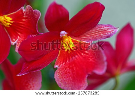 Pink flower fragrant orchids  Vuylstekeara Cambria Plush - stock photo